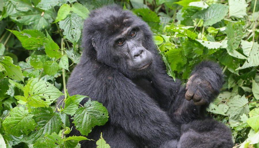 Uganda, mountain gorillas at Bwindi Impenetrable Forest