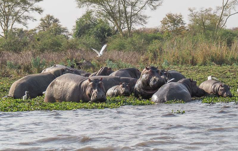 Liwonde National Park, an herd of hippos in the Shire river