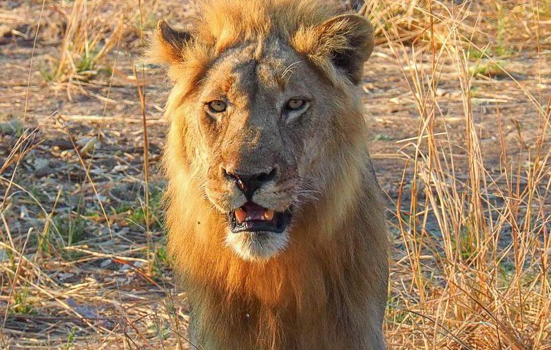 Zambia, a beautiful lion in South Luangwa