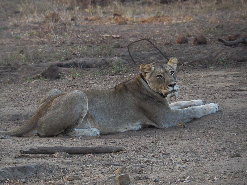 A lion resting, Majete wildlife Reserve
