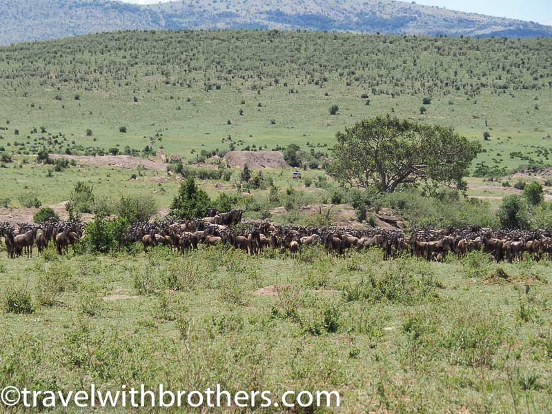 Masai Mara National Reserve, a big herd of gnu