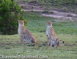 Masai Mara National Reserve, a couple of cheetahs