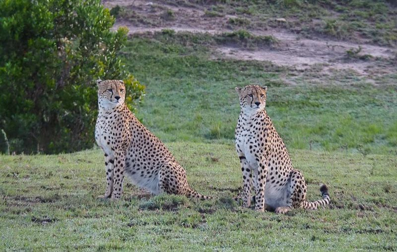 Masai Mara National Reserve, a couple of cheetahs