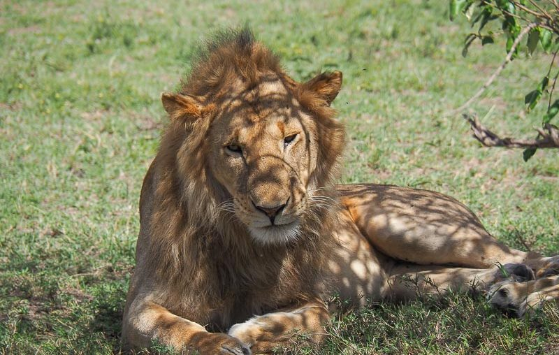 Masai Mara National Reserve, a lion resting in the grass