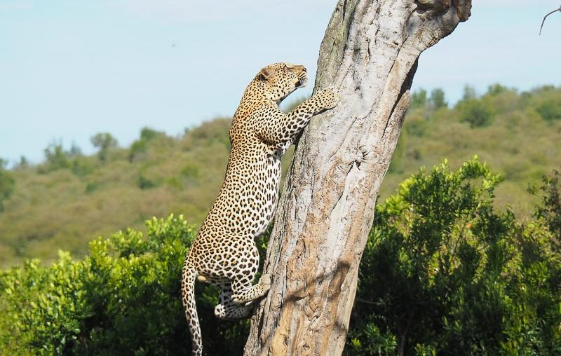 Masai Mara National Reserve, a leopard climbing up a tree