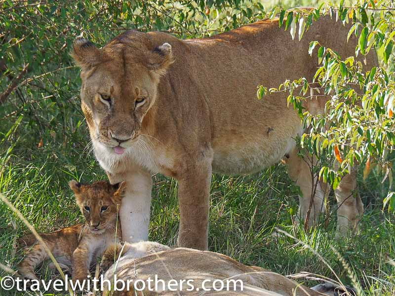 Masai Mara National Reserve, a lioness with its cub