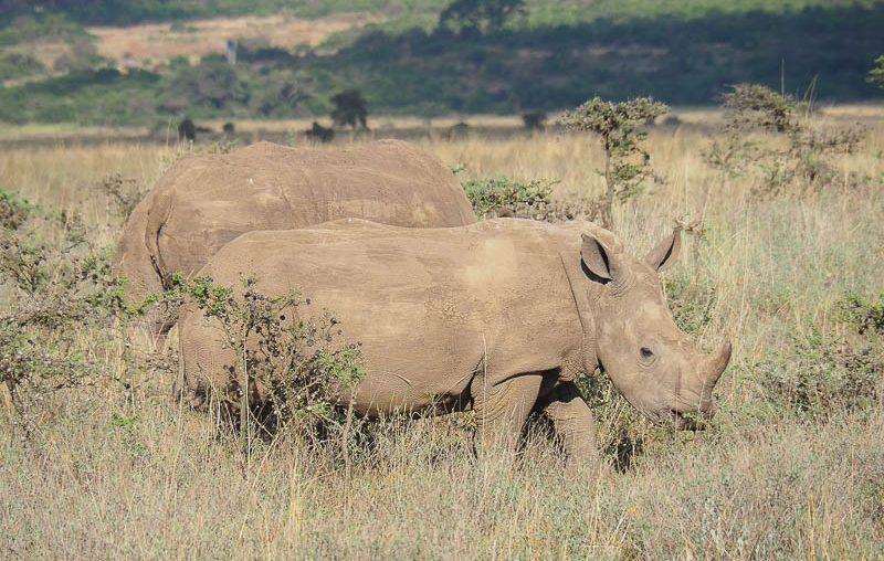 Nairobi National Park, a couple of big white rhinos