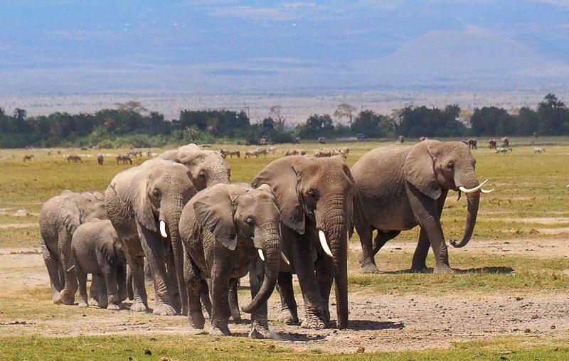 Amboseli NP, a herd of big elephants
