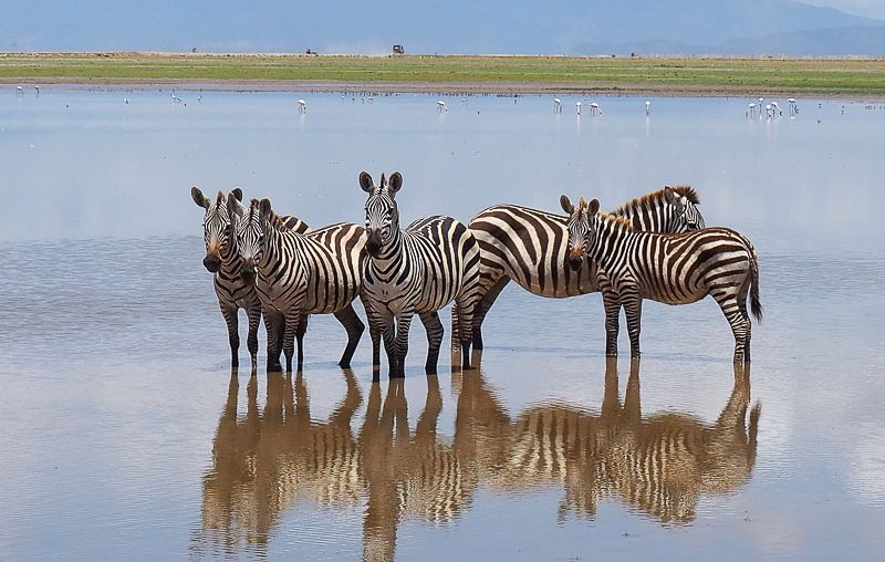 Amboseli NP, zebras resting in a swamp