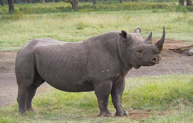 Lake Nakuru, a massive black rhino