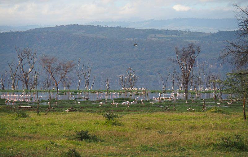 Lake Nakuru, a flock of flamingos