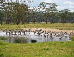 Lake Nakuru, animals in a swamp