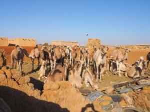 khartoum camel market