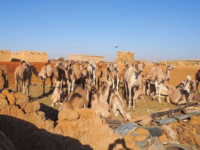 khartoum camel market 2