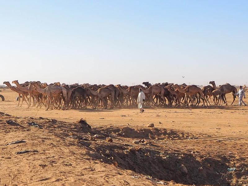 khartoum camel market 4
