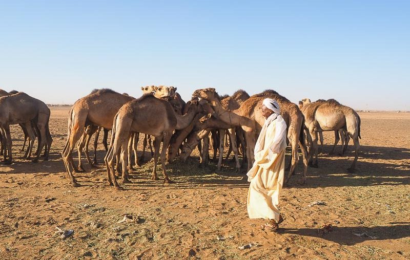 Khartoum, a vendor with its camels