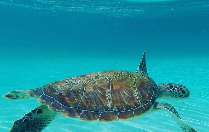 Port Barton, a turtle at Maxima island