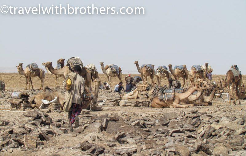 Dancalia, cammelli in attesa di riprendere il viaggio
