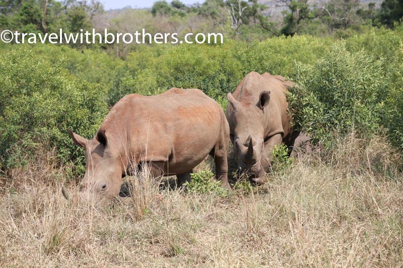 Parco Hluhluwe Imfolozi, due grossi esemplari di rinoceronte bianco